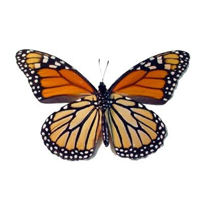 Monarch butterfly verso