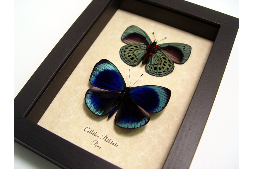 Callithea philotmia Pair Metallic Blue Real Framed Butterflies Sug ...