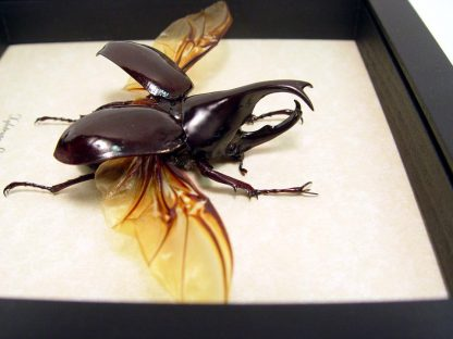 Horned Rhinoceros Beetle
