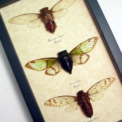 3 Cicada Collection