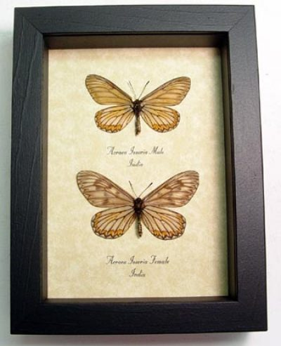 Acraea issoria Pair Basket Weave Butterflies Real Framed Insects