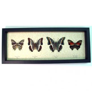 African-Charaxes-set