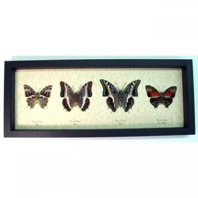 Charaxes Set Verso African Emperor Butterfly Collection Wild Patterns Real Framed Butterflies