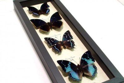 Chraraxes Set Blue African Butterflt Collections Real Framed Butterflies