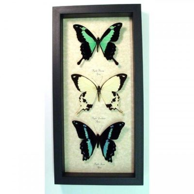 Papilio Collection African Green Blue Cream Real Framed Butterflies