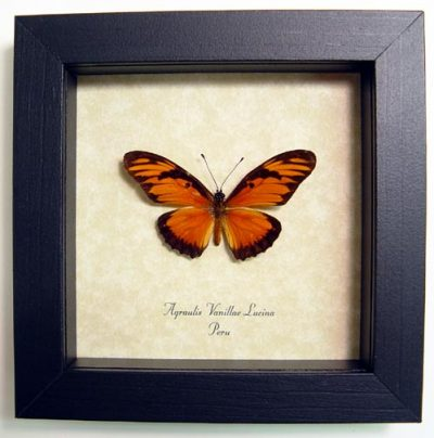 Agraulis Vanillae Lucina South American Gulf Fritillary Sub Species Real Framed Butterfly