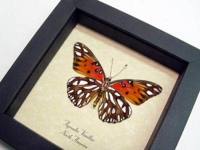 Agraulis vanillae Verso Gulf Fritillary Passion Butterfly Real Framed Butterfly