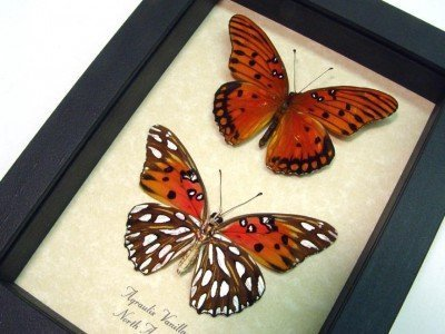Agraulis vanillae Pair- Gulf Fritillary or Passion Butterflies Real Framed Butterflies