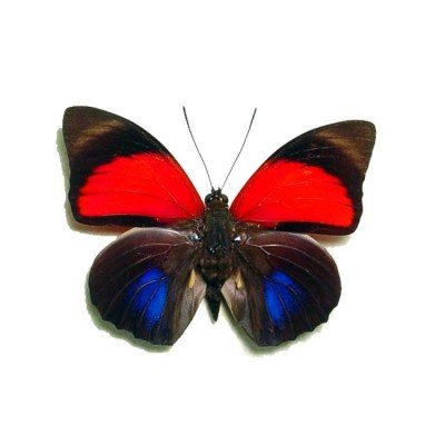 Agrias Claudina Lugens Red Blue Butterfly