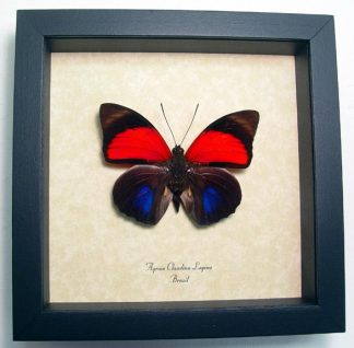 Agrias Claudina Lugens Red Blue Butterfly – Framed