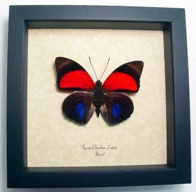 Agrias Claudina Lugens Real Framed Purple Red Butterfly