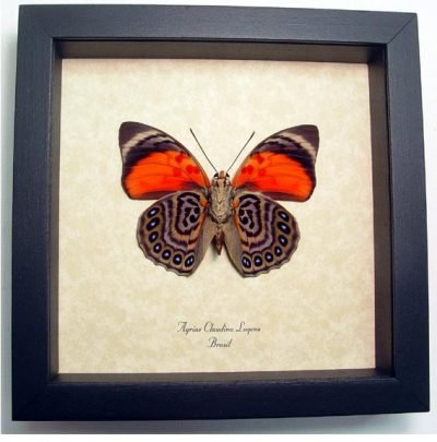 Agrias Claudina Lugens V Real Framed Red Butterfly Wild Kaleidoscope Markings