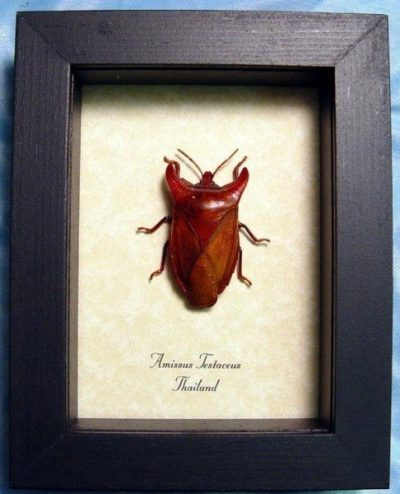 Amissus testaceus Real Framed Strange Orange Bull Horn Beetle