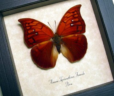 Anaea Tyrianthina Female Real Framed Rare Butterfly