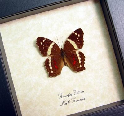Anartia Fatima Male Red Banded Peacock Real Framed Butterfly