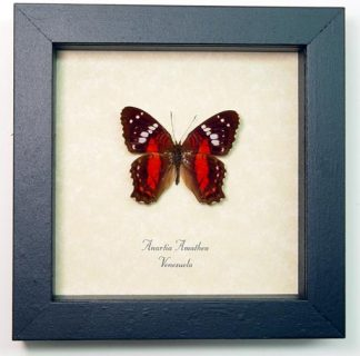 Anartia amathea red scarlet peacock butterfly – Framed