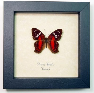 Anartia amathea Red Scarlet Peacock Real Framed Butterfly