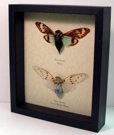 Set Ayuthia spectabilis Real Framed Blue & Ghost Cicadas