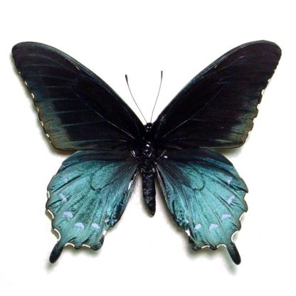 Battus Philenor Male - The North American Butterfly Blue Green Pipevine Swallowtail