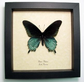 Battus Philenor Verso Pipevine Swallowtail  – Framed