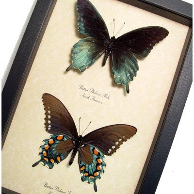 Real Framed Papilio Zelicaon Male Anise Swallowtail Butterfly 8065