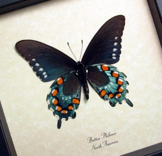 Battus philenor Verso Pipevine Swallowtail butterfly – Display