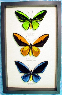Real framed birdwing butterflies and insects by Butterfly-Designs since 1992