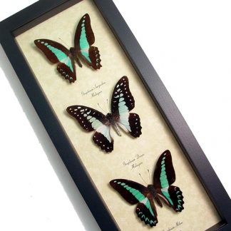 Blue Graphium Butterfly Collection