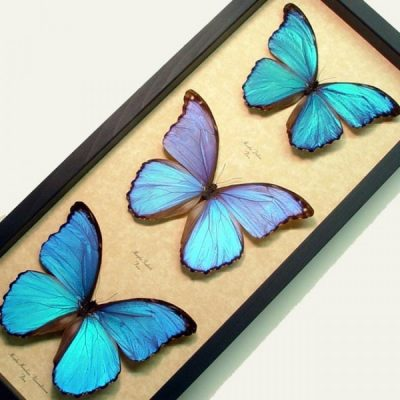 Morpho Collection Giant Real Framed Blue Purple Butterflies