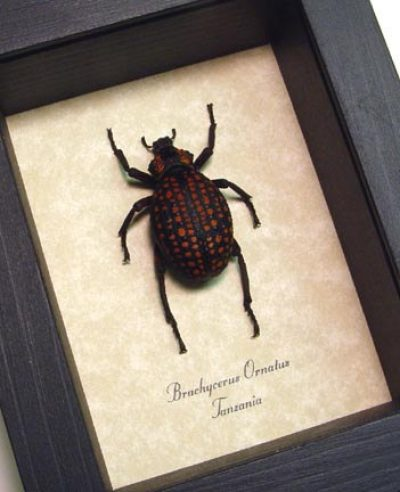 Brachycerus ornatus Moose Face Lily Weevil Real Framed Beetle