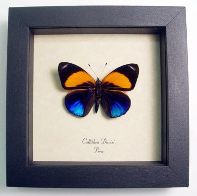 Callithea davisi Colorful blue & Orange Markings Real Framed Butterfly