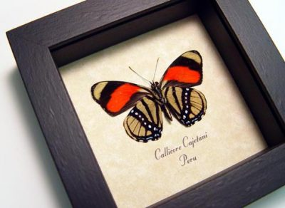Callicore cajetani Verso Real Framed Colorful Pattern Dots Butterfly