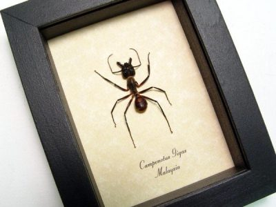 Camponotus gigas Xl Real Framed World's Largest Soldier Ant