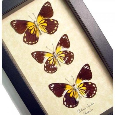 Caper Whites Collection Colorful Australian Real Framed Butterflies