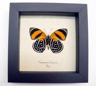 Catagramma cynosura Verso Black Orange Real Framed Butterflies