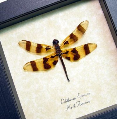 Celithemis eponina Real Framed Halloween Pennant Dragonfly