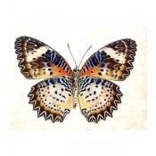 Cethosia Cyane euanthes - Leopard Lacewing