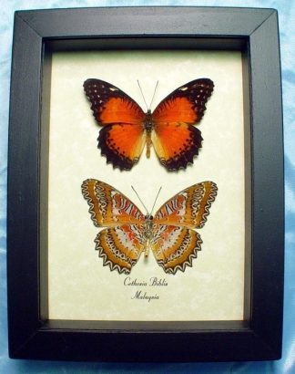 Cethosia biblis Pair – Red Lacewing Butterfly Framed