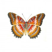 Cethosia biblis verso - Cat Face Lacewing Butterfly
