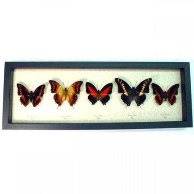 Charaxes Set Sunrise Butterfly Collection Real Framed Butterflies