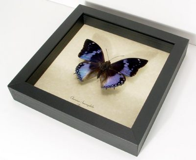 Charaxes smaragdalis Male Western Blue Charaxes Real Framed Butterfly