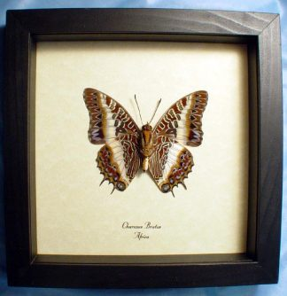 Charaxes brutus verso – Framed