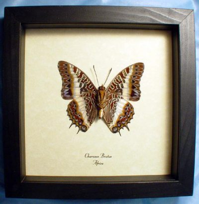 Charaxes brutus Verso White Barred Emperor Real Framed Butterfly