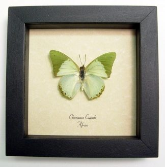 Charaxes eupale – Framed