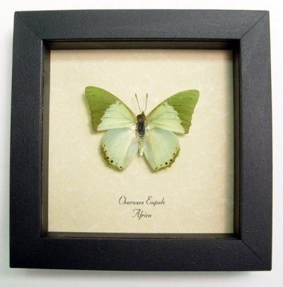 Charaxes eupale Male The Common Green Charaxes Real Framed Butterfly