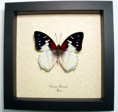 Charaxes hadrianus Male Hadrian's White Charaxes Real Framed African Butterfly Sug Retail $50