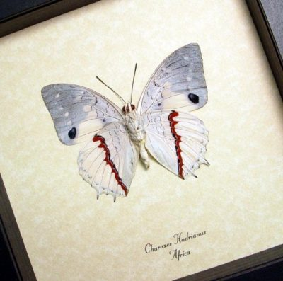 Charaxes hadrianus Verso Male Hadrian's White Charaxes Real Framed African Butterfly Sug Retail $50