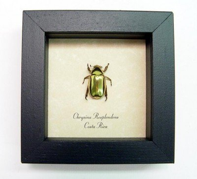 Shiney Leaf Chafers & Jewel Scarabs