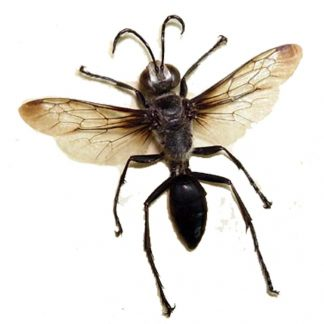 Clear-Winged-Silver-Black-Wasp