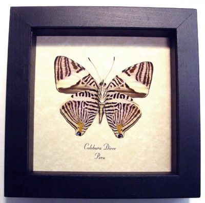Colobura dirce Verso The Dirce Beauty Kaleidoscope Real Framed Butterfly